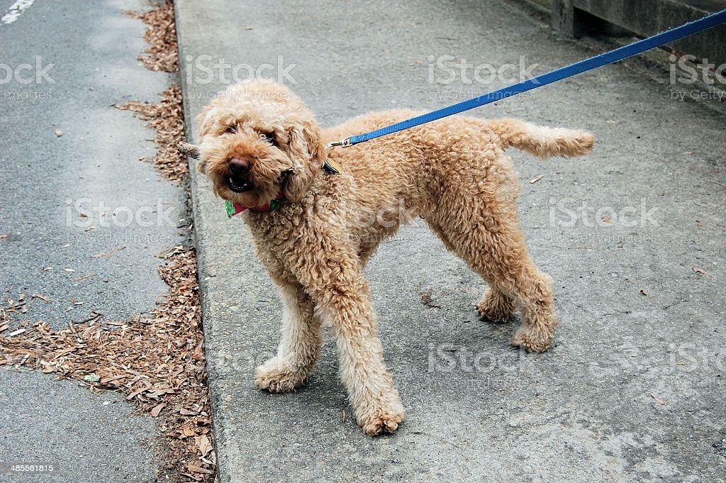 Young Labradoodle with Stick on Christmas Day stock photo