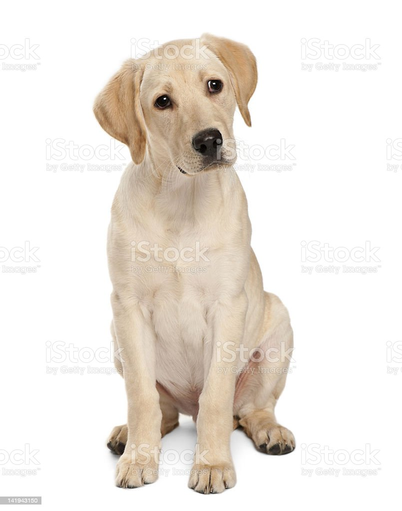 Young Labrador Retriever, 4 months old stock photo