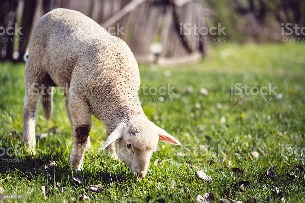 Young lamb eating grass in the mountains stock photo