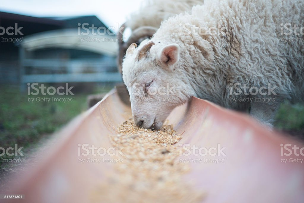 Young lamb eating meal outdoors in Spring stock photo