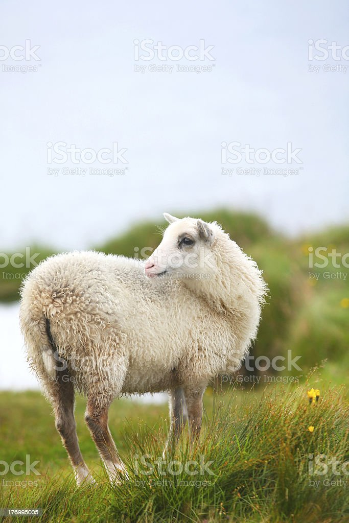 Young lamb grazing on the pasture royalty-free stock photo
