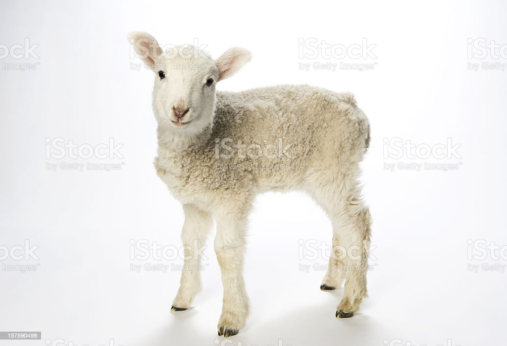 Young lamb on white background looking at camera. stock photo