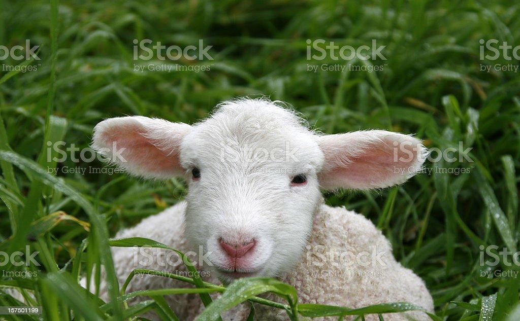 Young Lamb royalty-free stock photo