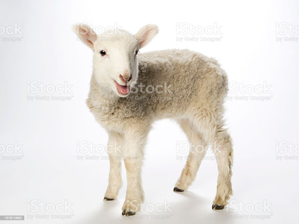 Young lamb smiling at the camera on a white background royalty-free stock photo