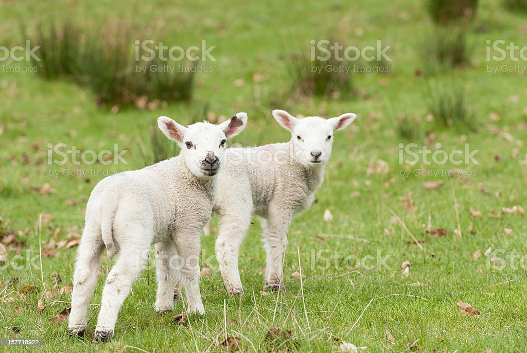 Young Lambs in Spring stock photo