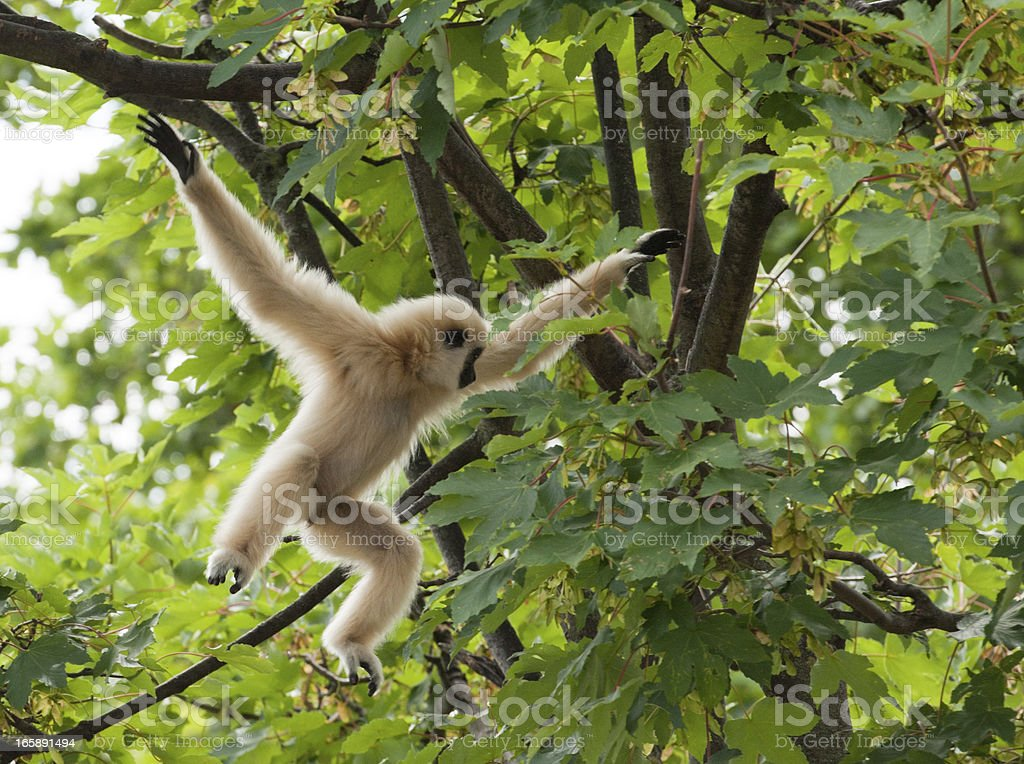 Young Lar Gibbon playing in the Tree, Mid-Air stock photo