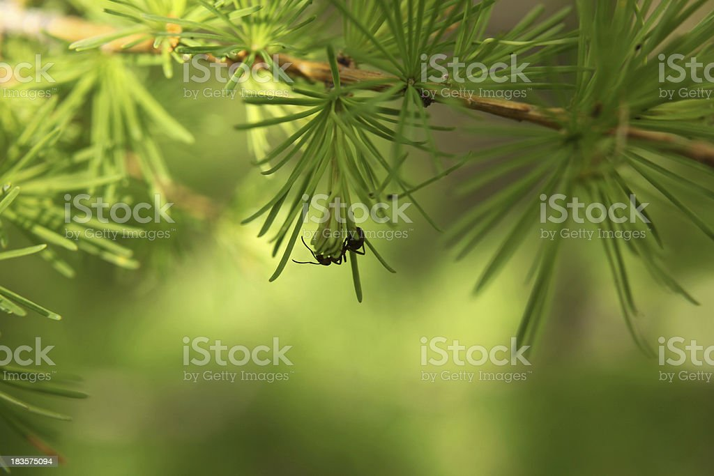 Young larch needles royalty-free stock photo