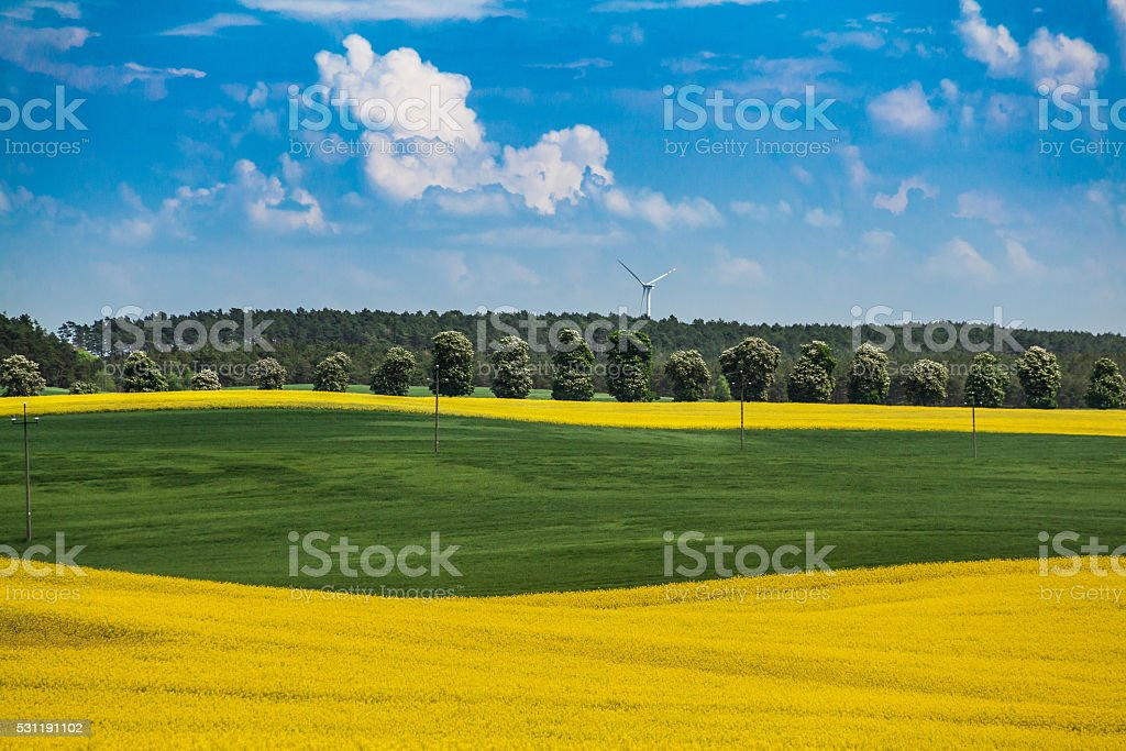 Young large colza and wheat field view stock photo