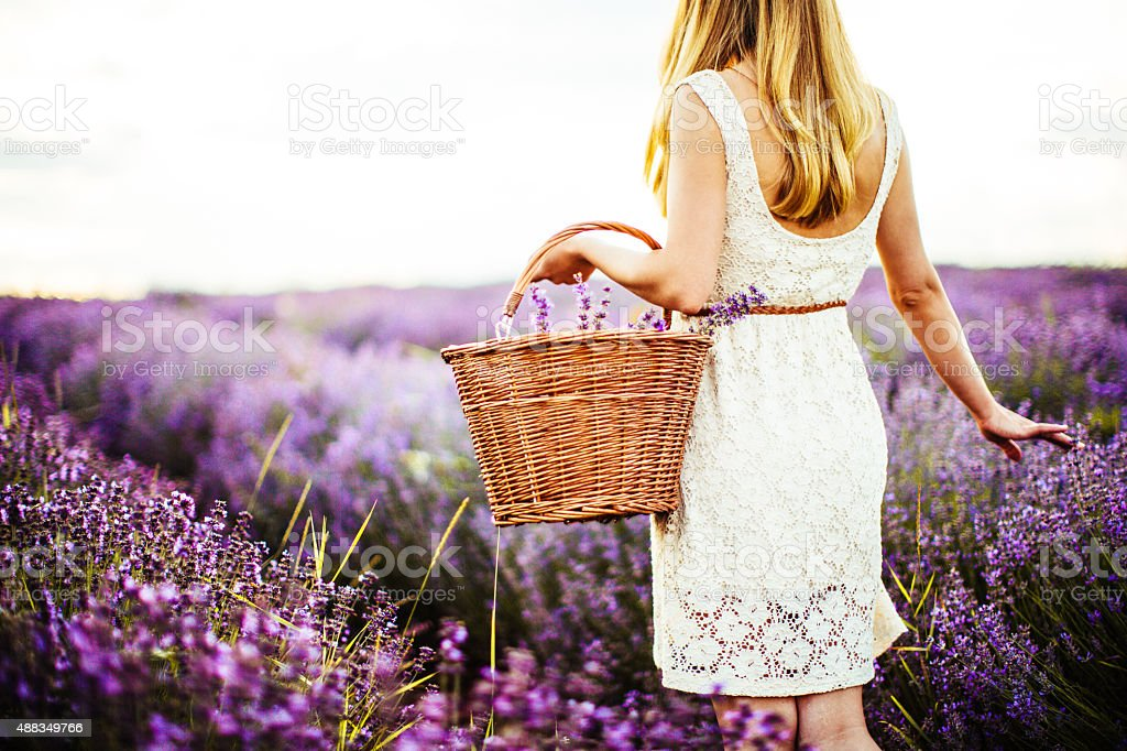 Young lavender picker stock photo