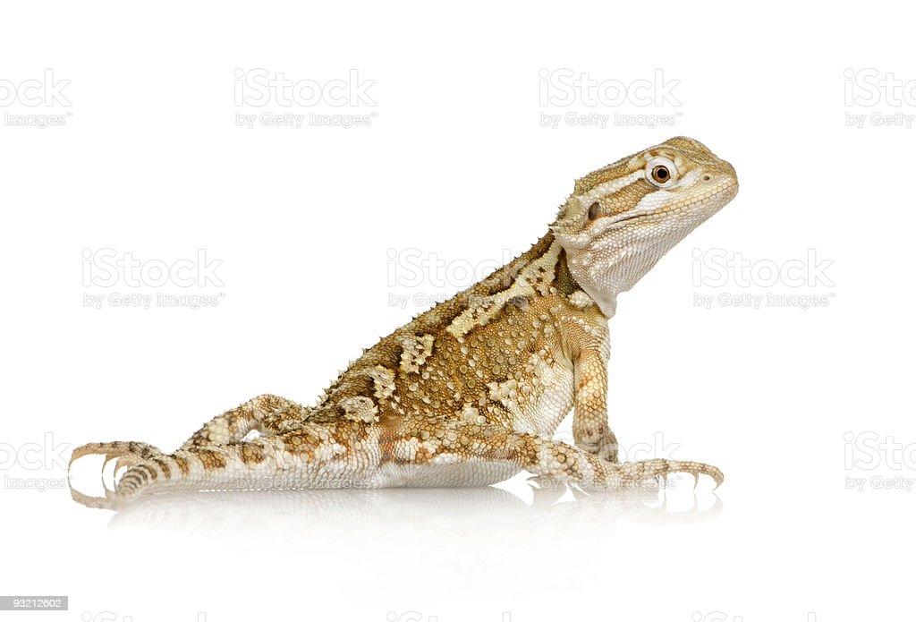 Young Lawson's dragon - Pogona henrylawsoni stock photo
