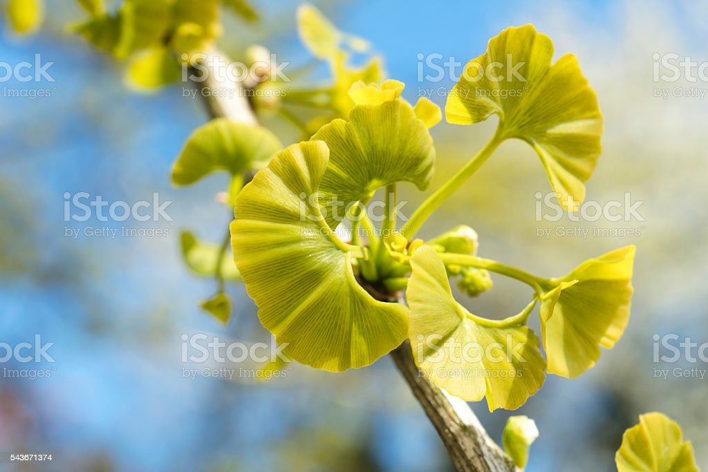 Young leafs of Ginkgo Biloba stock photo