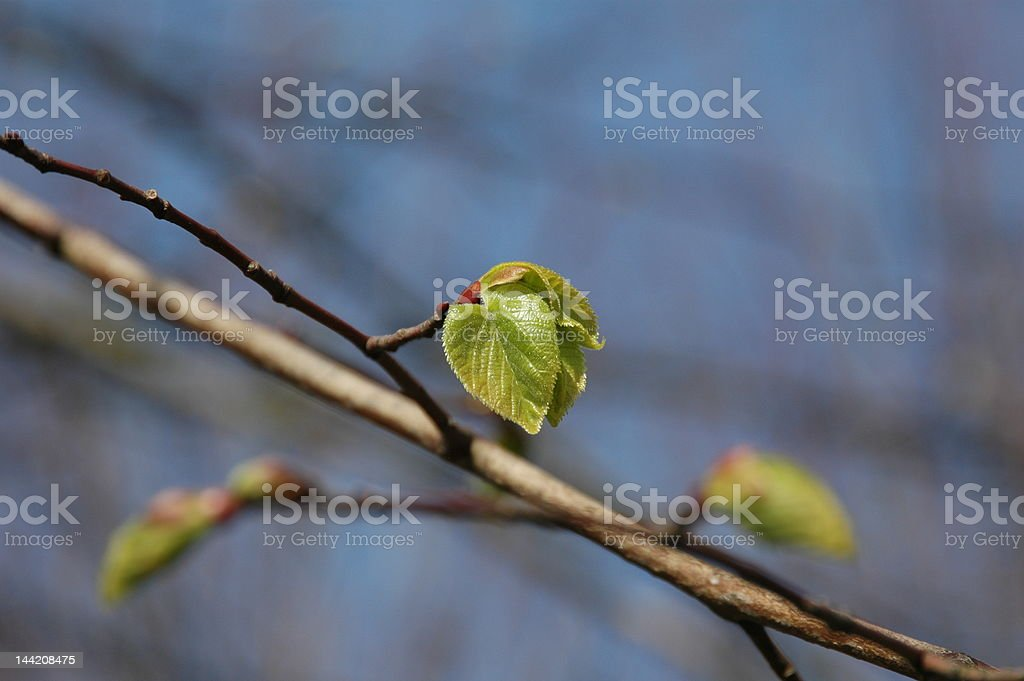 Young leaves in early spring stock photo