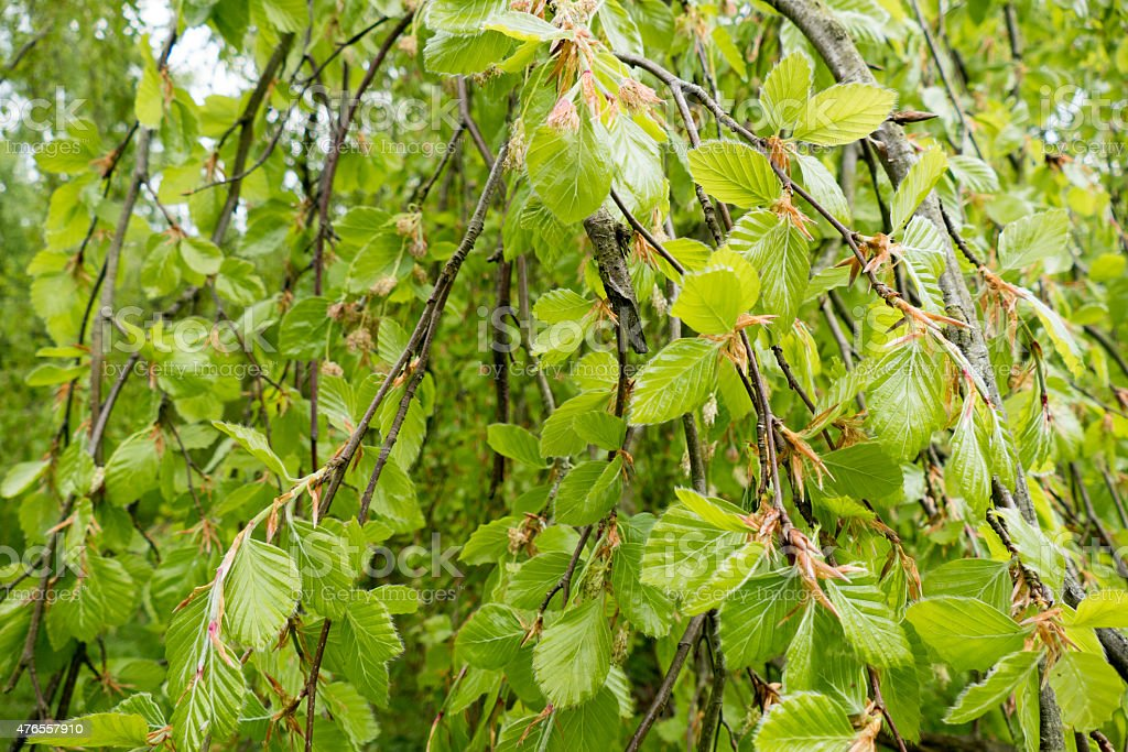 Young leaves of a weeping beech tree. stock photo