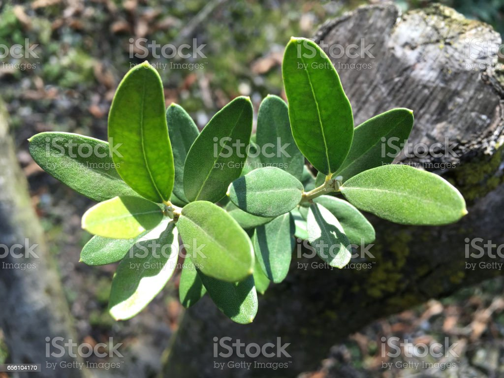 Young leaves of olive stock photo