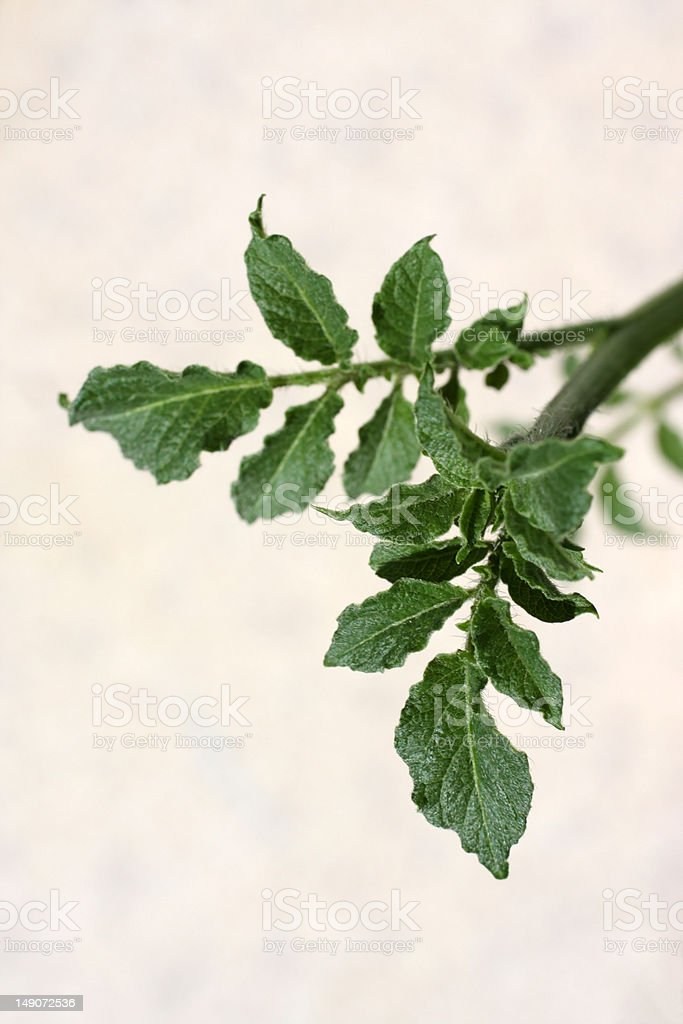 young leaves of patato stock photo