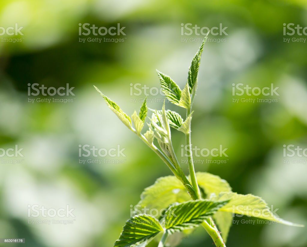young leaves of raspberry stock photo