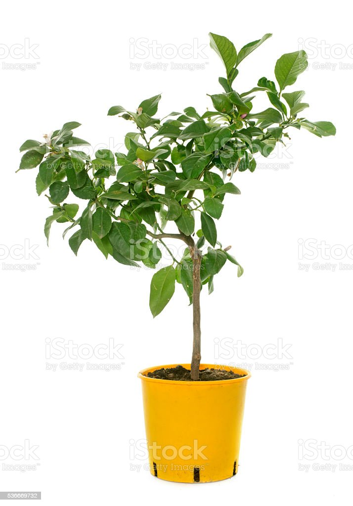 young lemon tree stock photo