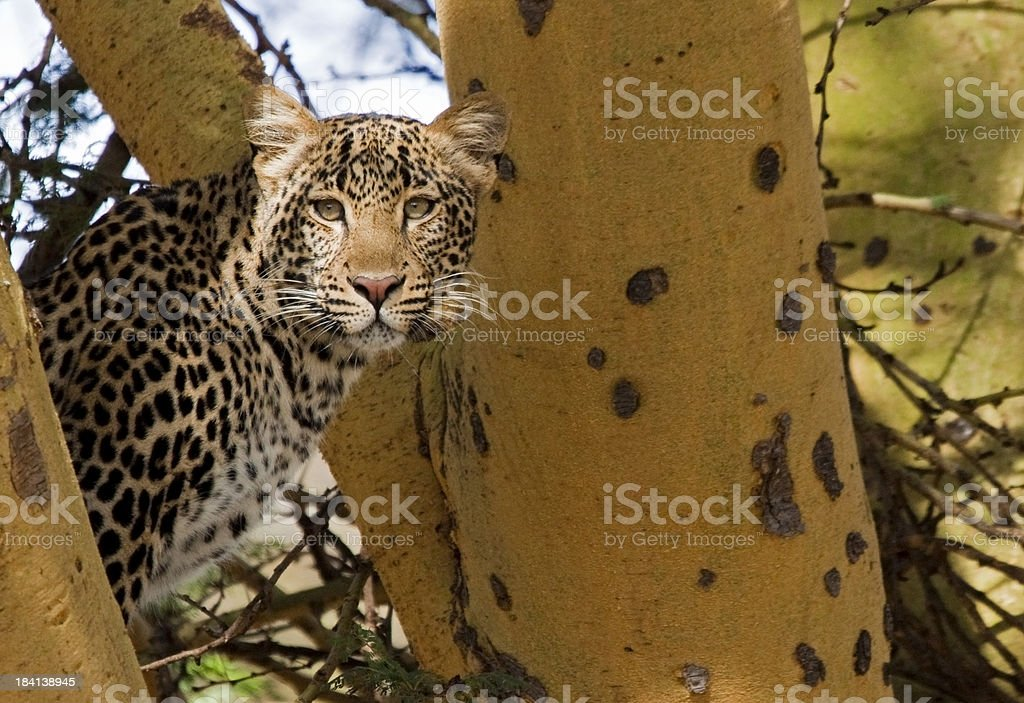 Young Leopard in a Tree stock photo