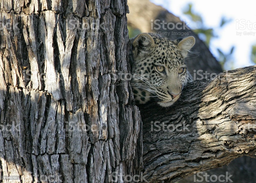 Young Leopard in Tree stock photo
