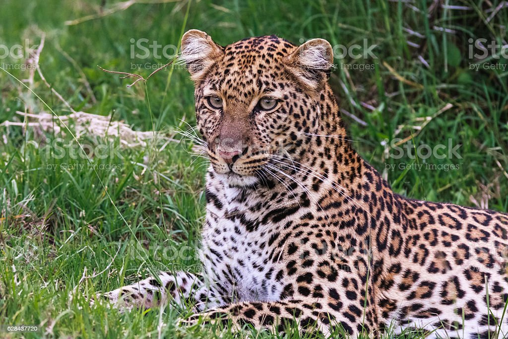 Young leopard resting. Nakuru, Kenya stock photo