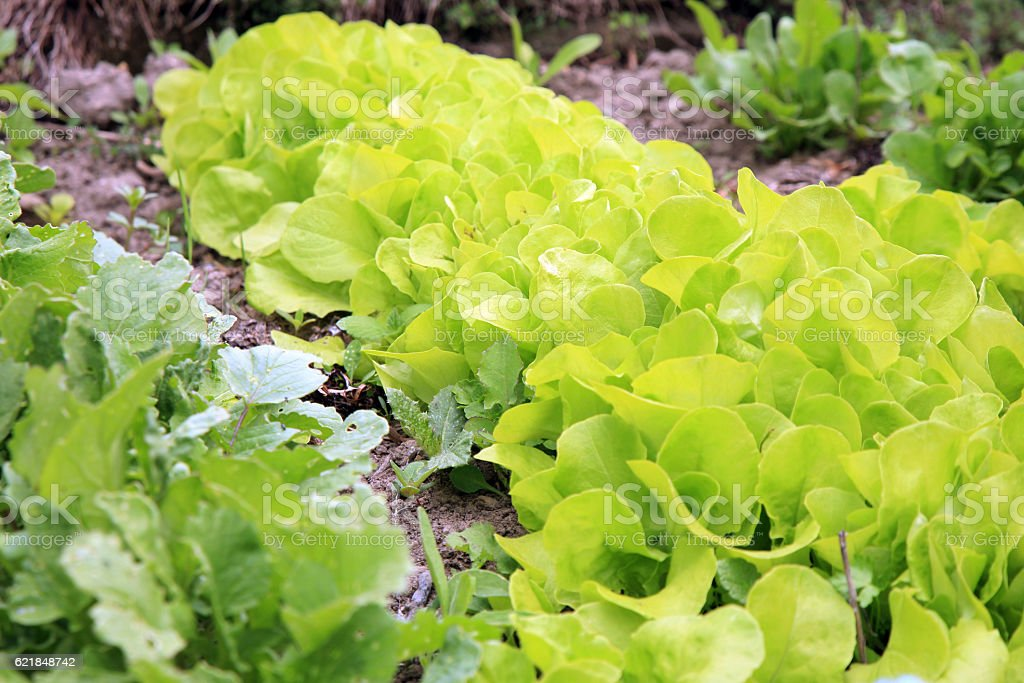 Young lettuce stock photo