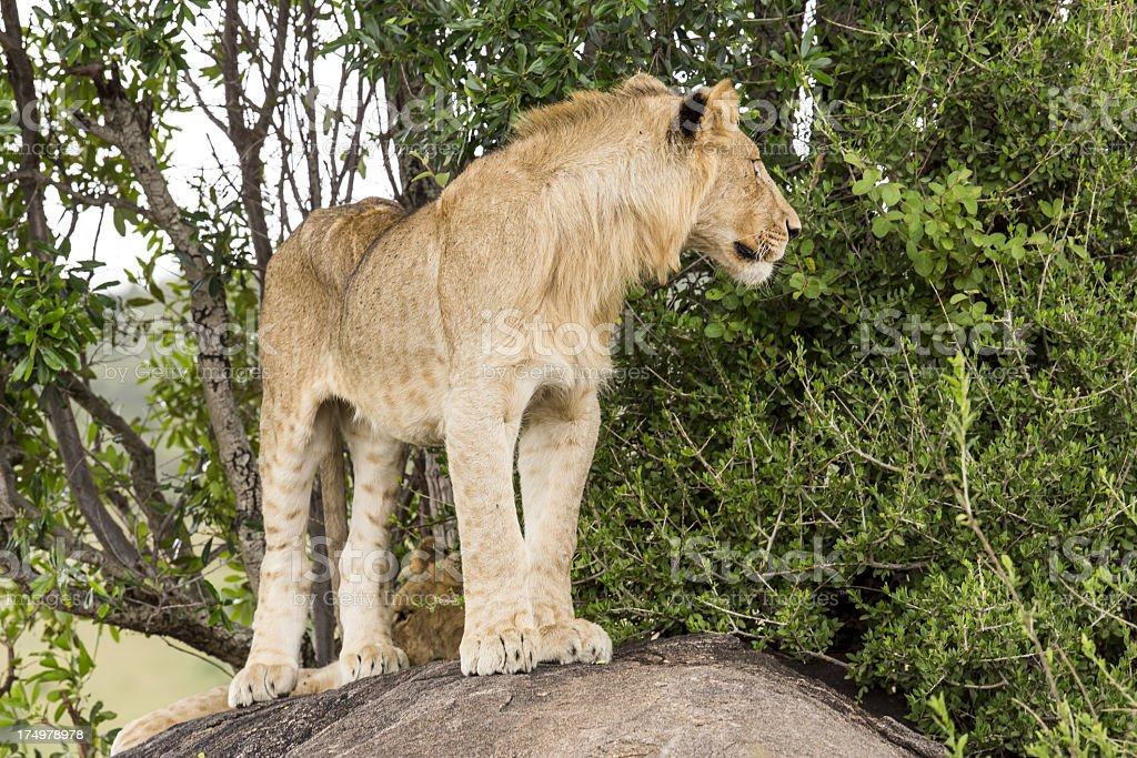 Young Lion at wild - rainy day royalty-free stock photo