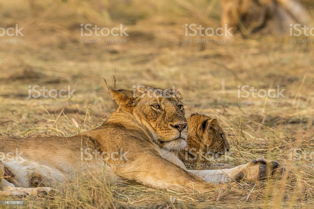 young Lion at wild with mother royalty-free stock photo