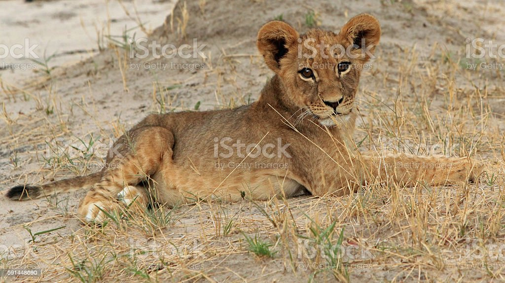 young lion cub resting stock photo