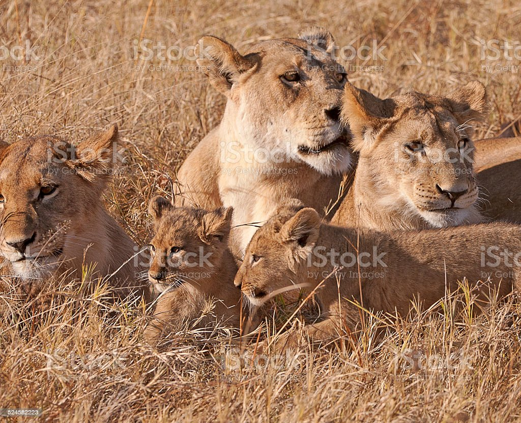 Young lion family with lioness, Botswana, Africa stock photo