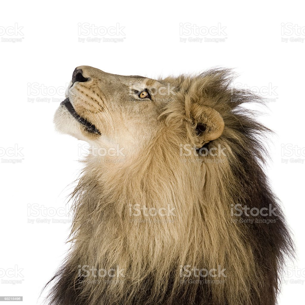 Young lion gazing off to its right royalty-free stock photo
