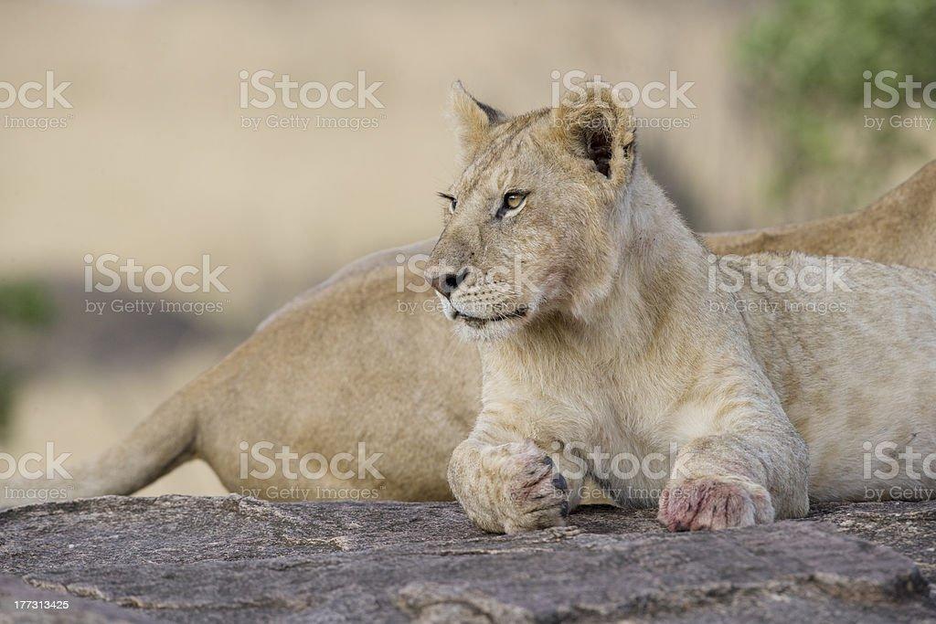 Jeune Lion du Masaï Mara photo libre de droits