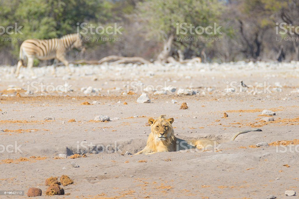 Young Lion lying down, Zebra walking undisturbed, Africa stock photo