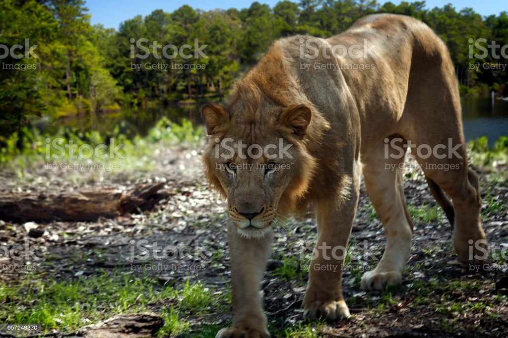 Young Lion stalks by lake, composite stock photo