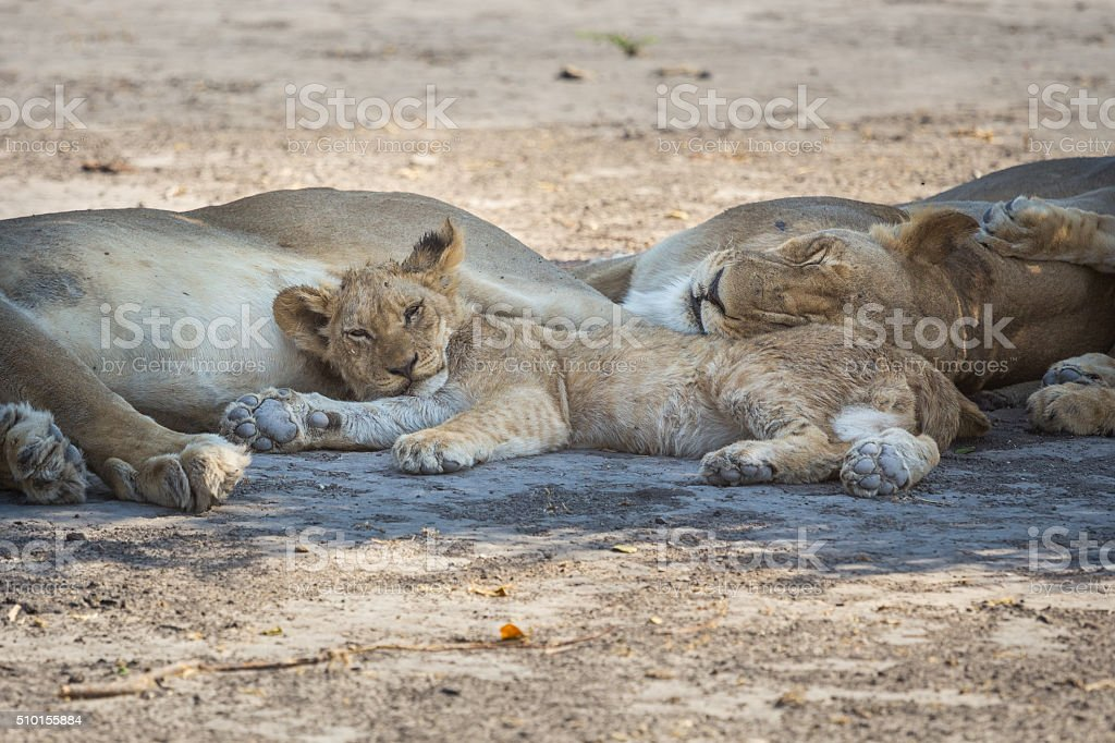 Young lion taking a nap with its family stock photo