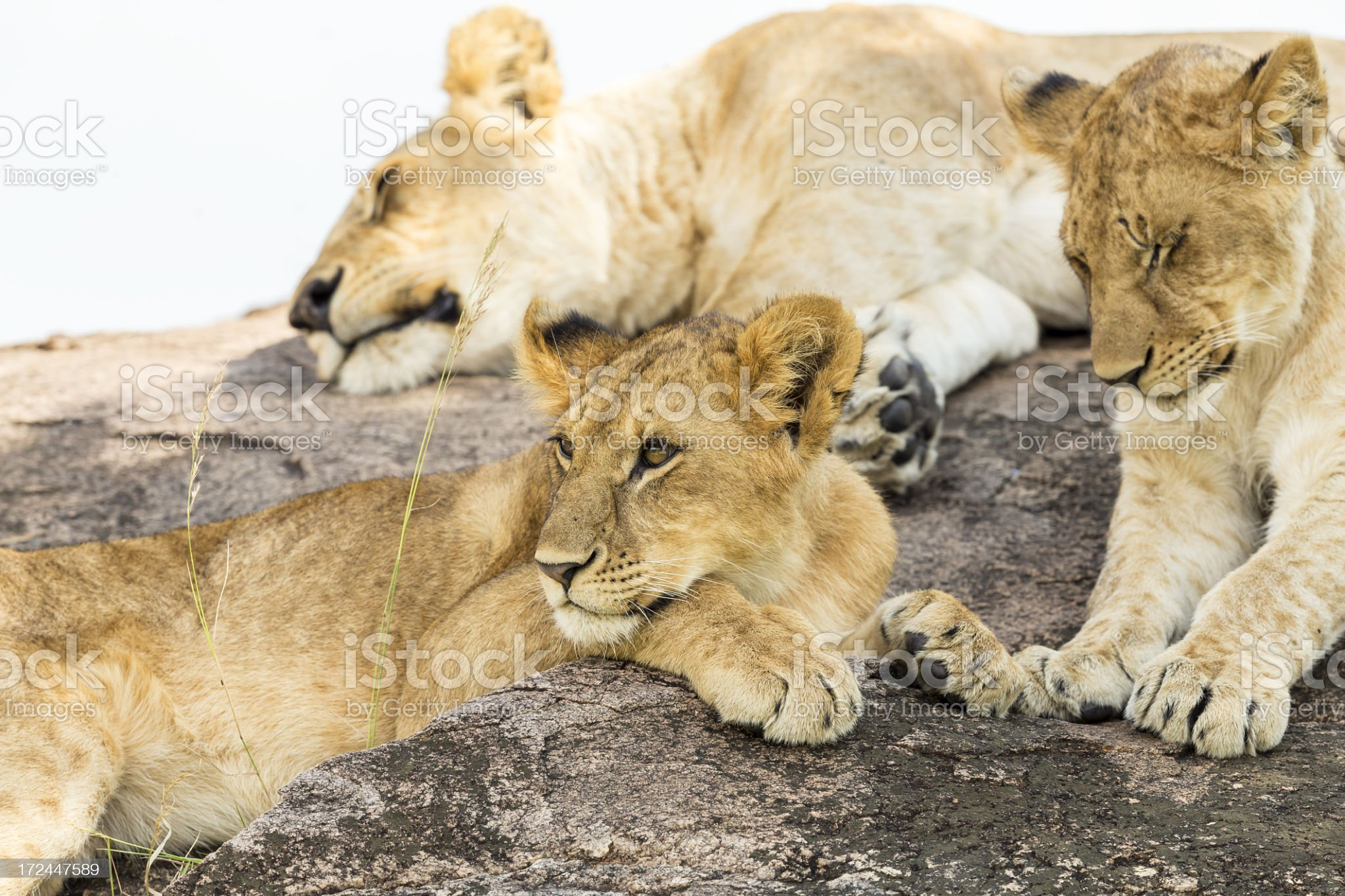 young Lioness at wild with sister and mother royalty-free stock photo