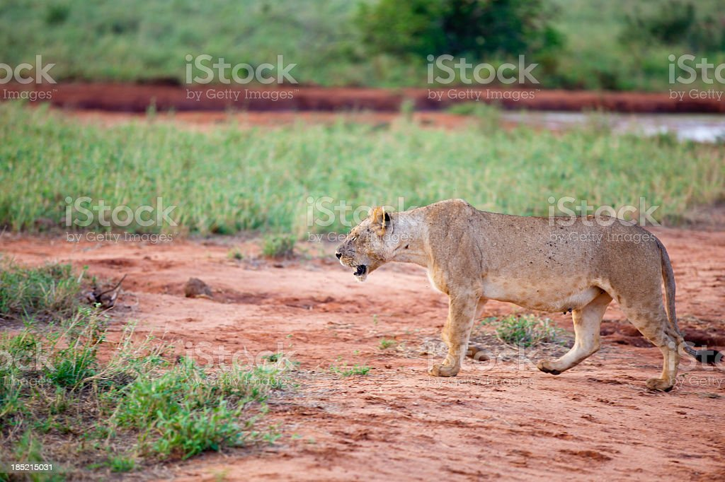 Young Lioness walking in morning sun with flies stock photo