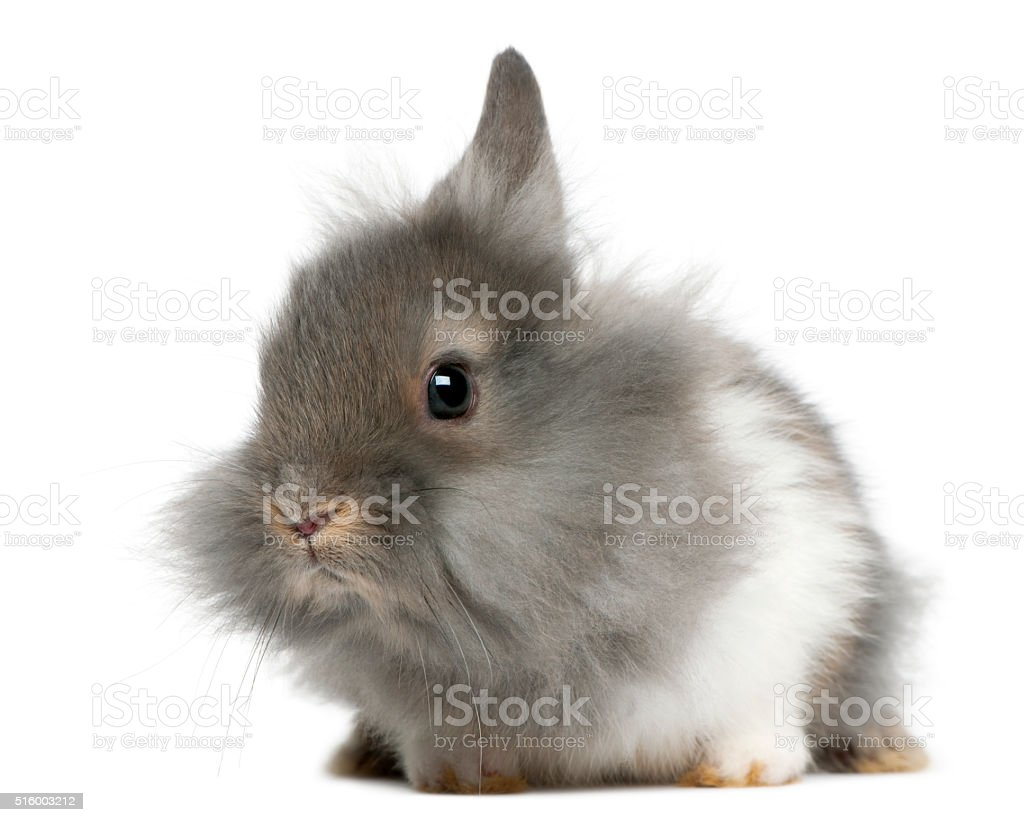Young Lionhead rabbit, 2 months old, stock photo
