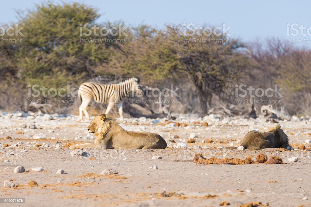 Young Lions lying down, Zebra undisturbed, Africa stock photo