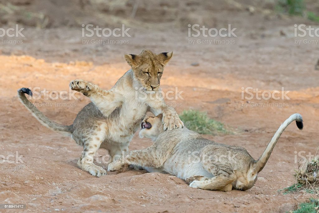 Young lions playing and fighting stock photo