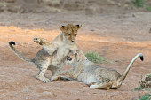 Young lions playing and fighting