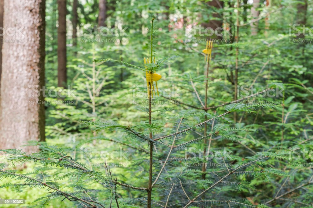 Young little fir tree in a forest with a wristband protection against damage caused by animals stock photo