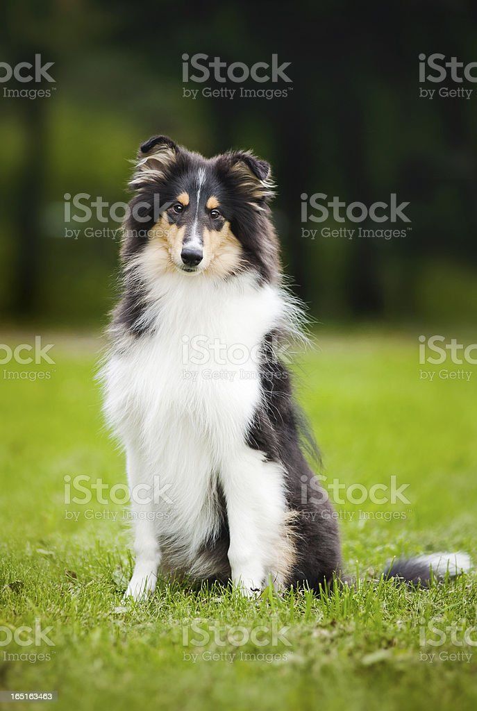 young little puppy collie royalty-free stock photo