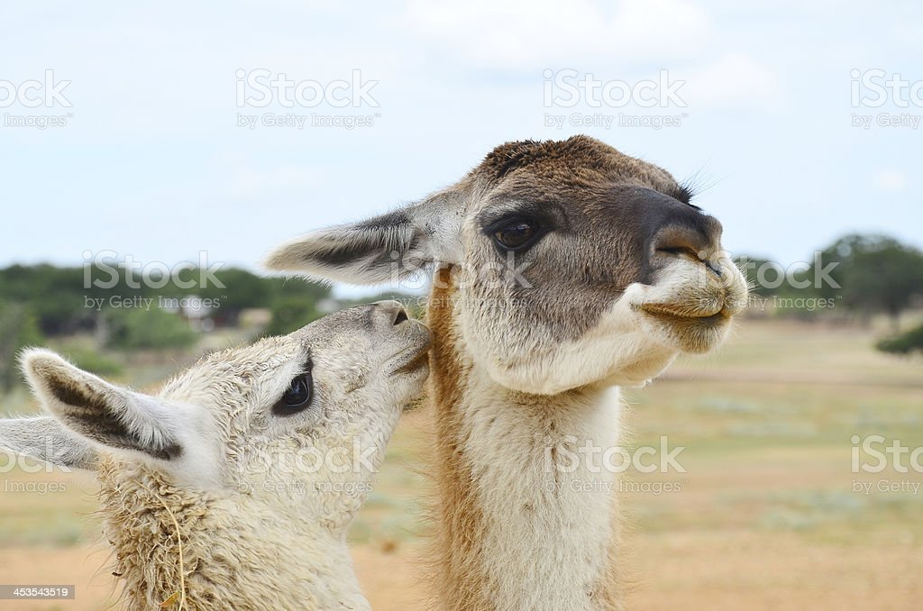 Young Llama with Mother royalty-free stock photo