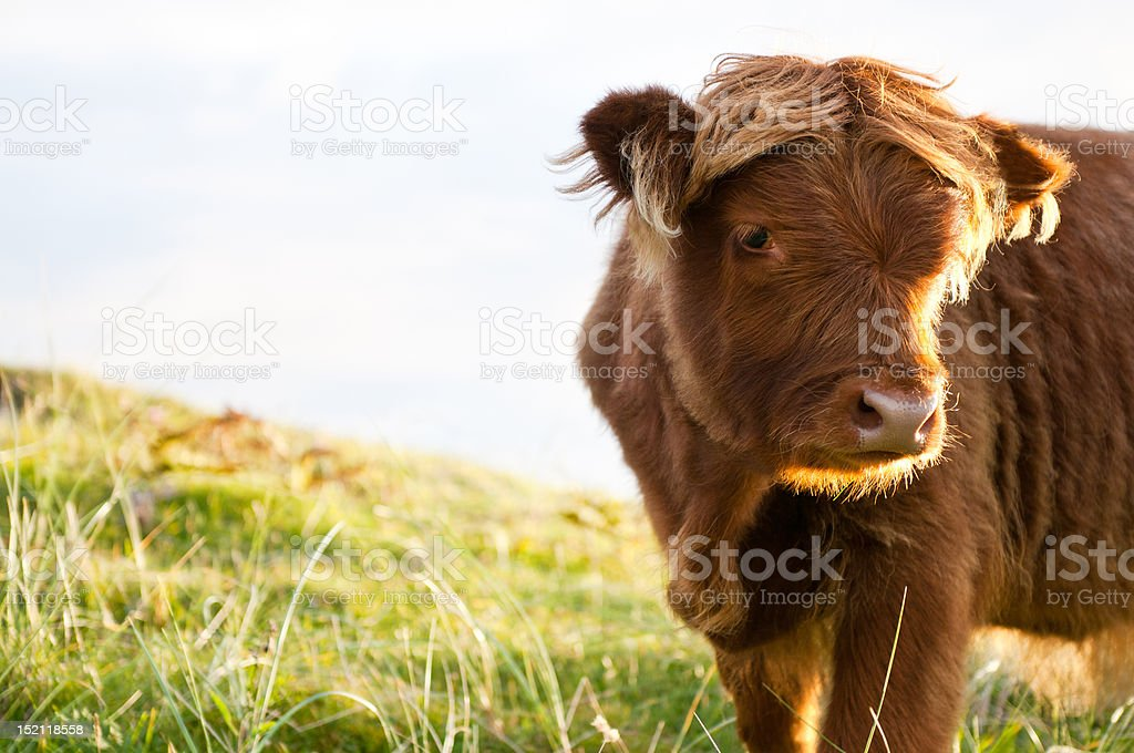 Young long hair gallow cow stock photo