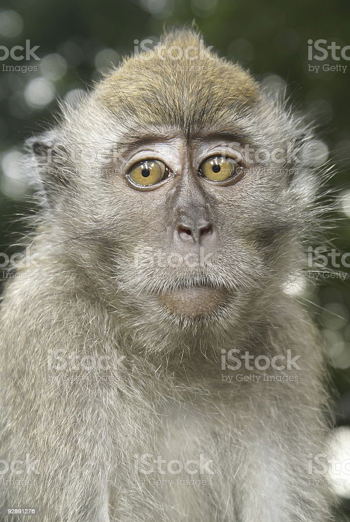 Young long tailed macaque portrait stock photo