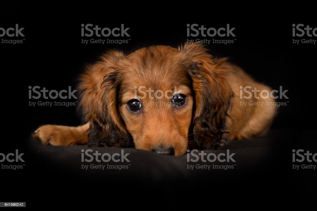 Young longhaired dachshund dog puppy stock photo