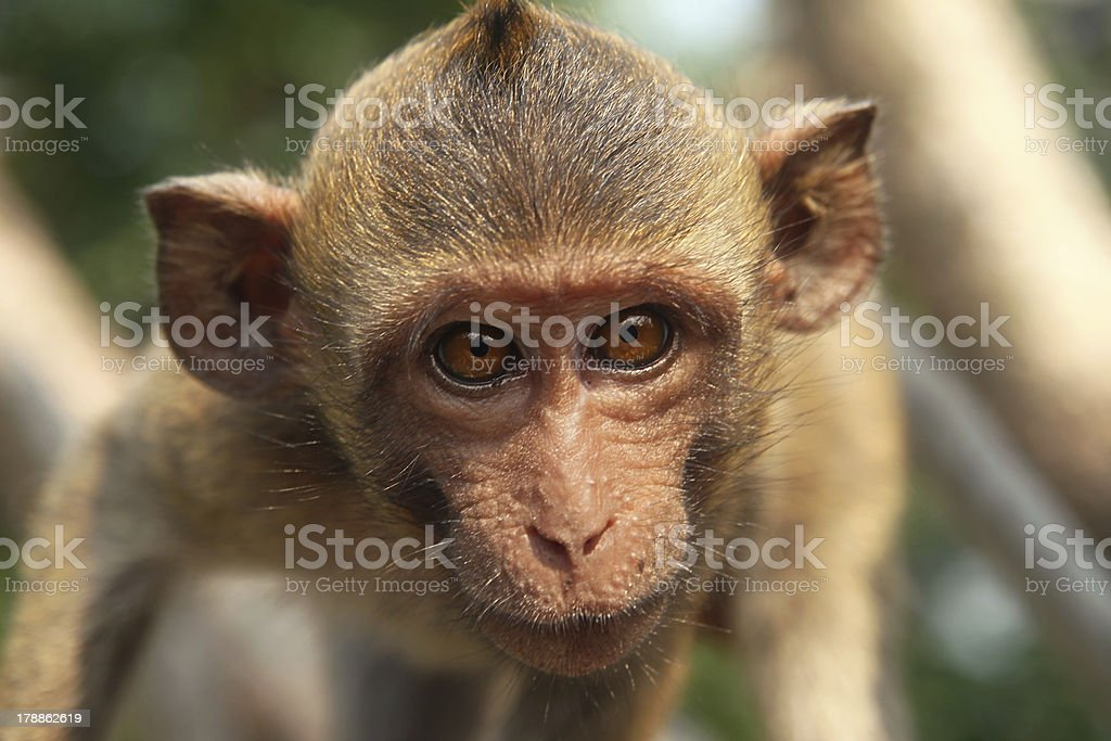 young long-tailed macaque close-up royalty-free stock photo