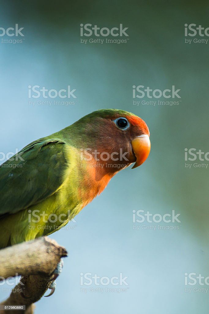 young lovebird stock photo