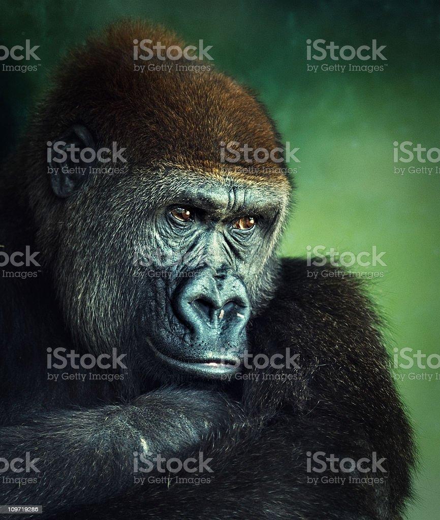 young lowland gorilla portrait stock photo