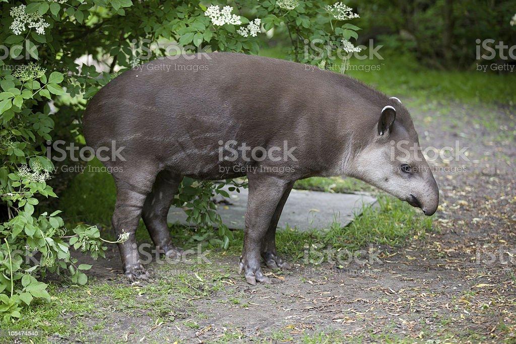 young lowland Tapir - Tapirus terrestris royalty-free stock photo